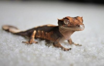 Why Won't My Crested Gecko Move?