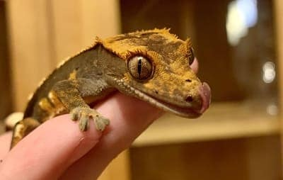 Why Is My Crested Gecko Eating Substrate?