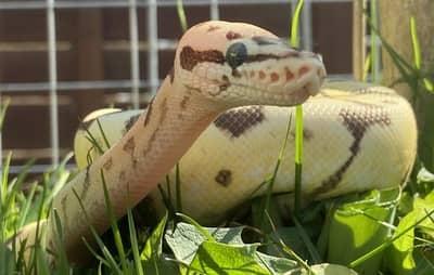 Can You Keep a Ball Python Outside?