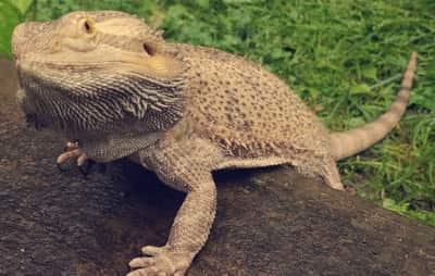 Why Does My Bearded Dragon Get Mad When I Take Him Outside?