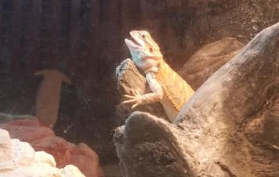 Can Bearded Dragons Store Food in Their Beard?
