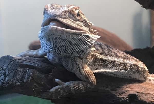 Why Does My Bearded Dragon Sleep With His Mouth Open?