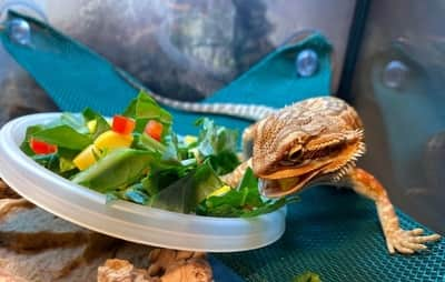 How Long Does It Take for Bearded Dragons to Digest Food?