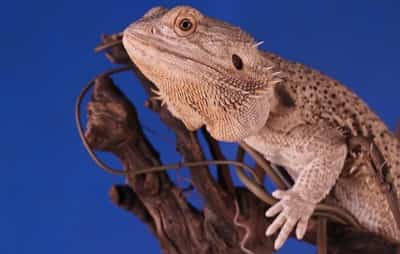 Should I Wave Back at My Bearded Dragon?