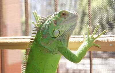 Why Is My Iguana Trying to Escape?