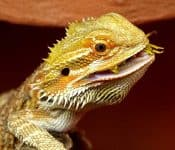 What to Feed a Bearded Dragon (16 Options)