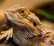 How to Take Care of a Bearded Dragon (10 Basics)
