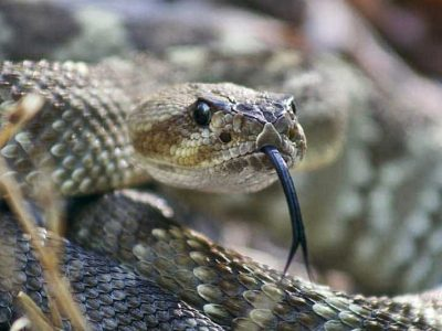 22 Interesting Facts About Rattlesnakes