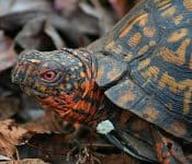 Types of Box Turtles in Florida (4 Subspecies With Pictures)