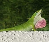 9 Types of Green Lizards in Florida