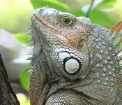 11 Invasive Lizards in Florida (With Pictures)