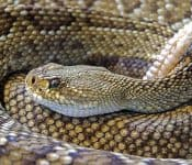 Rattlesnakes in Texas (9 Species With Pictures)