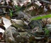 Rattlesnakes in North Carolina (Meet the 3 Species)