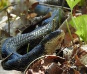 3 Types of Rat Snakes in Alabama(Pictures)