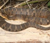 Water Snakes in New York - (Here's the One Species)