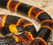 Coral Snakes in Texas (Meet the Only Species)