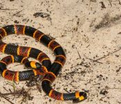 Coral Snakes in Florida (Pictures & Facts)