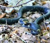 8 Species of Kingsnakes in Tennessee (Pictures)