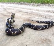 4 Kinds of Kingsnakes in South Carolina (With Pictures)