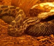 Rattlesnakes in Michigan (Meet the Only Species)