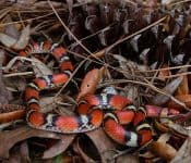 10 Coral Snake Look-alikes in the U.S.