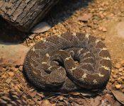 Rattlesnakes in Georgia (3 Species)