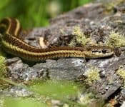 Garter Snakes in Florida (5 Species With Pictures)