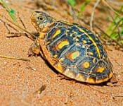 3 Species of Box Turtles in Texas (Pictures)