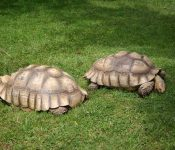 Sulcata Tortoise Care Sheet (Important Things to Know)
