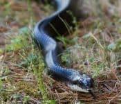 4 Species of Rat Snakes in Virginia (Pictures)