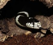 Kingsnake Care Sheet (7 Things to Keep in Mind)