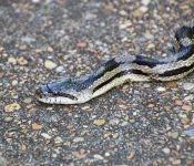 3 Species of Rat Snakes in North Carolina (Pictures)