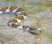 The 2 Types of Water Snakes in Maryland (Pictures)