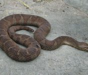 The Only Species of Water Snake in Maine (Pictures)