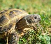 Russian Tortoise Care Sheet (Plus 5 Important Tips)