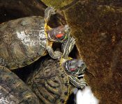 13 Species of Freshwater Turtles in Florida (With Pictures)